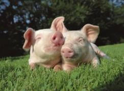 Nebraska Pig Producer Chooses Indiana