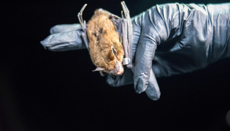 NC Taps Indiana State Bat Researchers to Study Gray Bats