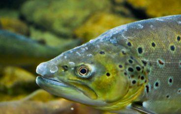 Atlantic Salmon Raised on Land-based Farm